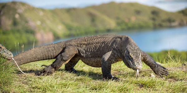 Le Dragon De Komodo Description Alimentation Reproduction Des Varans